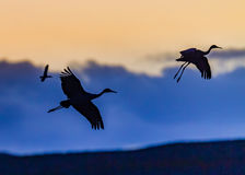 Sandhill cranes in silhouette at Bosque del Apache in sunset Royalty Free Stock Image