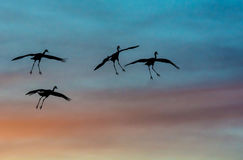 Sandhill cranes silhouetted against sunset colors stock photography