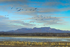 Sandhill Cranes and Snow Geese Stock Photos