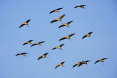 Sandhill Cranes soaring in blue sky Stock Photography