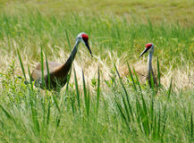 Sandhill Cranes Standing Along Marsh in Central Florida Royalty Free Stock Photography