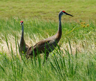 Sandhill Cranes Standing Along Marsh in Central Florida Stock Photography