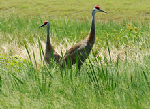 Sandhill Cranes Standing Along Marsh in Central Florida Stock Photos