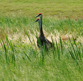 Sandhill Cranes Standing Along Marsh in Central Florida Stock Photo