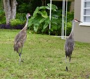 Sandhill Cranes. This is a Summer picture of a pair of Sandhill Cranes strolling through a residential neighborhood located in Bushnell, Florida in Sumter County royalty free stock photo