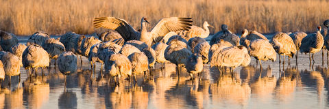 Sandhill Cranes at Sunrise Stock Photography
