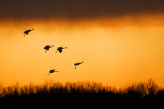 Sandhill cranes at sunset Stock Image