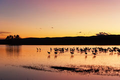 Sandhill Cranes in Sunset Royalty Free Stock Photo