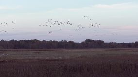 Sandhill cranes at sunset during migration stock video