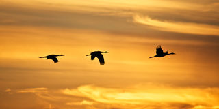 Sandhill Cranes at Sunset Stock Images