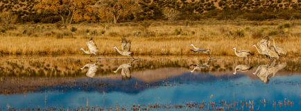 Sandhill Cranes Taking Off. Panoramic Composition of a Small Flock Of Sandhill Cranes Leaving Their Roost At Bosque del Apache National Wildlife Refuge, New Stock Image