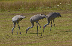 Sandhill Cranes...Three is Company Stock Photos