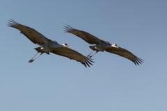 Sandhill cranes in volo Immagine Stock