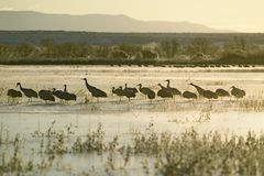 Sandhill cranes walk on frozen lake at sunrise over the Bosque del Apache National Wildlife Refuge, near San Antonio and Socorro,  Royalty Free Stock Image