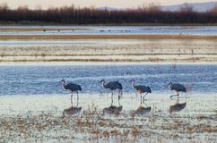 Sandhill cranes walk on lake at sunrise at the Bosque del Apache National Wildlife Refuge, near San Antonio and Socorro, New Mexic Royalty Free Stock Photography