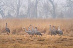 Sandhill Cranes on a foggy day near the Platte River. Sandhill Cranes walk through a pasture on a foggy day near the Platte River in Nebraska stock photos