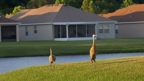 Sandhill cranes walk through residential neighborhood, 4K. Two sandhill cranes walk through neighborhood at sunset, 4K stock footage