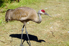 Sandhill Cranes walking in a migratory bird sanctuary Stock Image