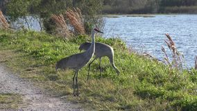 Sandhill cranes walking near lake stock video footage