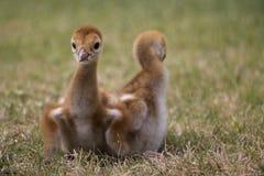 Sandhill dźwigowy kurczątko, Floryda Zdjęcia Royalty Free
