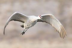 Sandhill dźwigowy latanie nad stawem Zdjęcie Stock