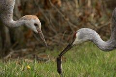 Sandhill de kraan die het is veulen met een vers gevangen veldmuis voeden stock foto's