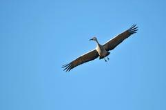 sandhill di volo della gru dell'uccello Fotografia Stock