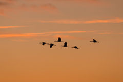 Sandhill-Kräne silhouettiert bei Sonnenaufgang Stockfotografie