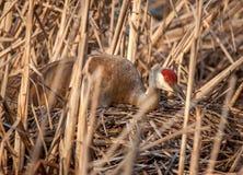 Sandhill-Kran auf Nest Lizenzfreies Stockfoto