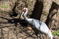 Sandhill-Kran an Bronx-Zoo lizenzfreie stockbilder