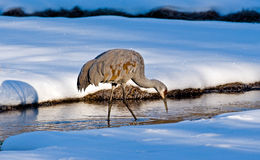 Sandhill kran i vinter Royaltyfri Fotografi