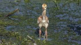 Sandhill-Kranküken in den Sumpfgebieten stock footage