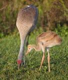Sandhill kran och fågelunge Royaltyfri Bild