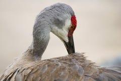 Sandhill-Krannahaufnahme des roten Kopfes Stockbild