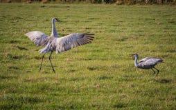 Sandhill-Kranpaare tun fügenden Tanz stockbilder