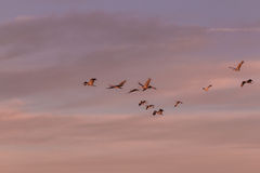 Sandhill sträcker på halsen flyg i ottaljus Arkivfoton