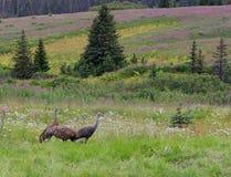 Sandhill streckt Familie in Alaska Lizenzfreies Stockbild