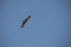 Sandhill żuraw w locie Fotografia Royalty Free