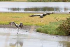 Sandhill Żurawia ptak Fotografia Stock