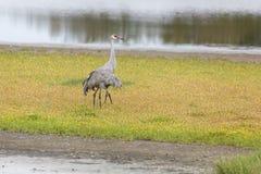 Sandhill Żurawia ptak Zdjęcia Royalty Free