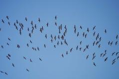Sandhill żurawie Zdjęcie Royalty Free
