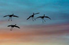 Sandhill żurawie sylwetkowi przeciw zmierzchów kolorom Fotografia Stock