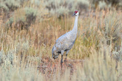 Sandhillcrane. Sandhill Crane foraging in high grass Royalty Free Stock Photography
