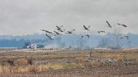 Sandhills at Autumn Harvest Time. Sandhills fly over from a farm field as a tracctor plows grain royalty free stock photo