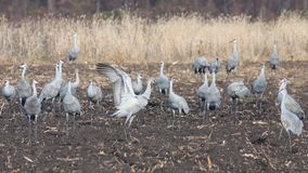 Sandhills dance in the Farm. Sandhills eat from a recently plowed farm field. One crane raises and flaps its wings to protect the flock stock images