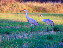 Sandhills Walking. Two Sandhill Cranes walking in a field Stock Images