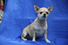 Sandig kulör Chihuahuahund som sitter på en blå torkduk royaltyfri foto