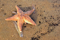 sandig sjöstjärna för strand Royaltyfri Foto
