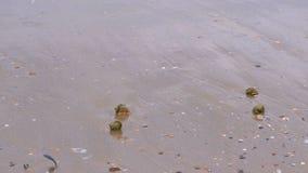Sandig strand med rapan skal och ett trumpetsnäckaskal Stormvågor i havet stock video