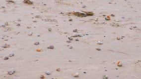 Sandig strand med rapan skal och ett trumpetsn?ckaskal arkivfilmer
